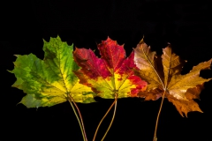 Autumn-leaves-in-a-row